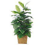 Foster's Point 4' Double Philodendron Plant