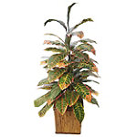 Foster's Point 4' Double Croton Floor Plant 149.00